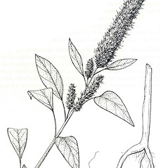 Plant form: Amaranthus hypochondriacus. ~ By New York State Museum. ~ Copyright © 2018 New York State Museum. ~ www.nysm.nysed.gov/imagerequest