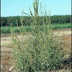 Plant form: Amaranthus palmeri. ~ By Mark Renz. ~ Copyright © 2019 Mark Renz. ~ mrenz[at]wisc.edu ~ Robert W. Freckmann Herbarium, U. of Wisconsin-Stevens Point