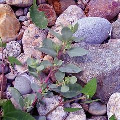 Plant form: Atriplex cristata. ~ By Arthur Haines. ~ Copyright © 2018. ~ arthurhaines[at]wildblue.net