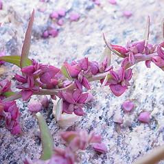 Flowers: Atriplex glabriuscula. ~ By Glen Mittelhauser. ~ Copyright © 2017 Glen Mittelhauser. ~ www.mainenaturalhistory.org
