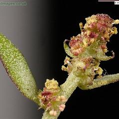 Flowers: Atriplex prostrata. ~ By John Crellin. ~ Copyright © 2018 © J.R. Crellin. ~ Floralimages www.floralimages.co.uk ~ Floral Images - www.floralimages.co.uk