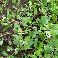 Plant form: Atriplex prostrata. ~ By Donna Kausen. ~ Copyright © 2019 Donna Kausen. ~ 33 Bears Den, Addison, ME 04606