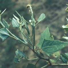Leaves: Atriplex prostrata. ~ By Lawrence Newcomb. ~ Copyright © 2020 New England Wild Flower Society. ~ Image Request, images[at]newenglandwild.org