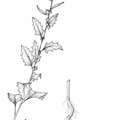 Plant form: Atriplex tatarica. ~ By New York State Museum. ~ Copyright © 2019 New York State Museum. ~ www.nysm.nysed.gov/imagerequest