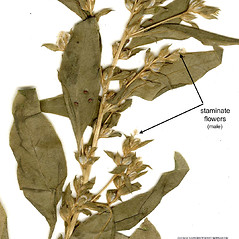 Flowers: Axyris amaranthoides. ~ By CONN Herbarium. ~ Copyright © 2017 CONN Herbarium. ~ Requests for image use not currently accepted by copyright holder ~ U. of Connecticut Herbarium - bgbaseserver.eeb.uconn.edu/