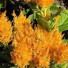 Flowers: Celosia cristata. ~ By Petr Kocna. ~ Copyright © 2020 CC BY-SA 3.0. ~  ~ Biolib - www.biolib.cz