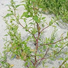 Plant form: Chenopodium berlandieri. ~ By Glen Mittelhauser. ~ Copyright © 2020 Glen Mittelhauser. ~ www.mainenaturalhistory.org