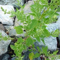 Plant form: Chenopodium berlandieri. ~ By Glen Mittelhauser. ~ Copyright © 2019 Glen Mittelhauser. ~ www.mainenaturalhistory.org