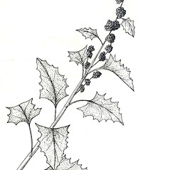 Plant form: Chenopodium capitatum. ~ By New York State Museum. ~ Copyright © 2017 New York State Museum. ~ www.nysm.nysed.gov/imagerequest