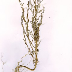 Plant form: Chenopodium leptophyllum. ~ By CONN Herbarium. ~ Copyright © 2019 CONN Herbarium. ~ Requests for image use not currently accepted by copyright holder ~ U. of Connecticut Herbarium - bgbaseserver.eeb.uconn.edu/