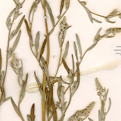 Leaves: Chenopodium leptophyllum. ~ By CONN Herbarium. ~ Copyright © 2019 CONN Herbarium. ~ Requests for image use not currently accepted by copyright holder ~ U. of Connecticut Herbarium - bgbaseserver.eeb.uconn.edu/