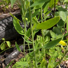 Leaves: Chenopodium pratericola. ~ By John Hilty. ~ Copyright © 2018 John Hilty. ~ john[at]illinoiswildflowers.info ~ Illinois Wildflowers - www.illinoiswildflowers.info/index.htm