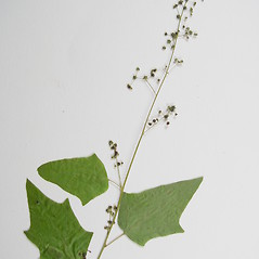 Plant form: Chenopodium simplex. ~ By Donald Cameron. ~ Copyright © 2018 Donald Cameron. ~ No permission needed for non-commercial uses, with proper credit