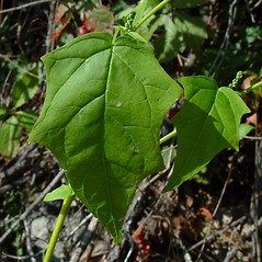 Leaves: Chenopodium simplex. ~ By Arthur Haines. ~ Copyright © 2018. ~ arthurhaines[at]wildblue.net