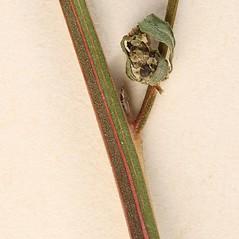 Stems: Chenopodium strictum. ~ By Arieh Tal. ~ Copyright © 2019 Arieh Tal. ~ http://botphoto.com/ ~ Arieh Tal - botphoto.com