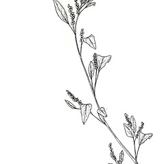 Plant form: Chenopodium strictum. ~ By New York State Museum. ~ Copyright © 2018 New York State Museum. ~ www.nysm.nysed.gov/imagerequest