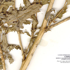 Stems: Chenopodium urbicum. ~ By CONN Herbarium. ~ Copyright © 2019 CONN Herbarium. ~ Requests for image use not currently accepted by copyright holder ~ U. of Connecticut Herbarium - bgbaseserver.eeb.uconn.edu/