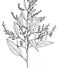Plant form: Dysphania anthelmintica. ~ By New York State Museum. ~ Copyright © 2018 New York State Museum. ~ www.nysm.nysed.gov/imagerequest