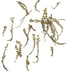 Plant form: Dysphania cristata. ~ By CONN Herbarium. ~ Copyright © 2019 CONN Herbarium. ~ Requests for image use not currently accepted by copyright holder ~ U. of Connecticut Herbarium - bgbaseserver.eeb.uconn.edu/