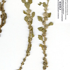 Leaves: Dysphania cristata. ~ By CONN Herbarium. ~ Copyright © 2019 CONN Herbarium. ~ Requests for image use not currently accepted by copyright holder ~ U. of Connecticut Herbarium - bgbaseserver.eeb.uconn.edu/