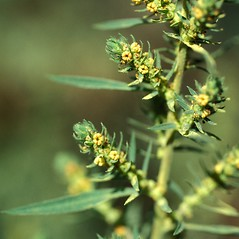 Flowers: Kochia scoparia. ~ By John Randall. ~ Copyright © 2018 CC BY-NC 3.0. ~  ~ Bugwood - www.bugwood.org/
