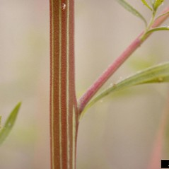 Stems: Kochia scoparia. ~ By Phil Westra. ~ Copyright © 2018 CC BY-NC 3.0. ~  ~ Bugwood - www.bugwood.org/
