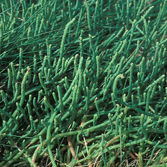 Plant form: Salicornia ambigua. ~ By John Lynch. ~ Copyright © 2019 New England Wild Flower Society. ~ Image Request, images[at]newenglandwild.org