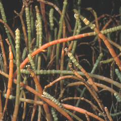 Stems: Salicornia ambigua. ~ By Frank Bramley. ~ Copyright © 2019 New England Wild Flower Society. ~ Image Request, images[at]newenglandwild.org