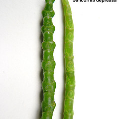 Comparison: Salicornia maritima. ~ By Donald Cameron. ~ Copyright © 2020 Donald Cameron. ~ No permission needed for non-commercial uses, with proper credit