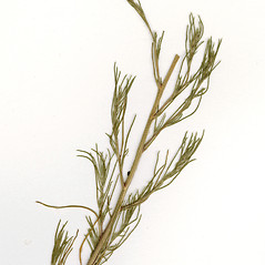 Leaves: Salsola collina. ~ By CONN Herbarium. ~ Copyright © 2017 CONN Herbarium. ~ Requests for image use not currently accepted by copyright holder ~ U. of Connecticut Herbarium - bgbaseserver.eeb.uconn.edu/