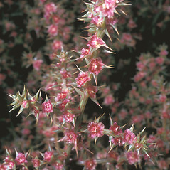 Flowers: Salsola kali. ~ By Frank Bramley. ~ Copyright © 2019 New England Wild Flower Society. ~ Image Request, images[at]newenglandwild.org