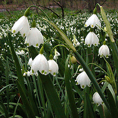 Plant form: Leucojum aestivum. ~ By David G. Smith. ~ Copyright © 2020. ~ dgsmith3[at]gmail.com ~ Delaware Wildflowers - delawarewildflowers.org/