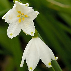 Inflorescences: Leucojum aestivum. ~ By John Crellin. ~ Copyright © 2020 © J.R. Crellin. ~ Floralimages www.floralimages.co.uk ~ Floral Images - www.floralimages.co.uk