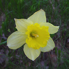Flowers: Narcissus pseudonarcissus. ~ By Arthur Haines. ~ Copyright © 2018. ~ arthurhaines[at]wildblue.net