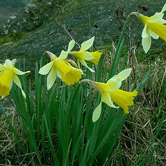 Inflorescences: Narcissus pseudonarcissus. ~ By Ben Legler. ~ Copyright © 2018 Ben Legler. ~ mountainmarmot[at]hotmail.com ~ U. of Washington - WTU - Herbarium - biology.burke.washington.edu/herbarium/imagecollection.php