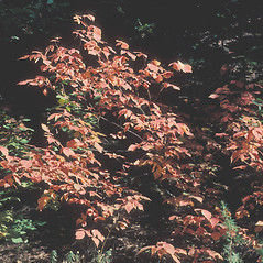 Plant form: Rhus aromatica. ~ By John Lynch. ~ Copyright © 2017 New England Wild Flower Society. ~ Image Request, images[at]newenglandwild.org