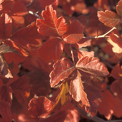 Leaves: Rhus aromatica. ~ By John Lynch. ~ Copyright © 2017 New England Wild Flower Society. ~ Image Request, images[at]newenglandwild.org