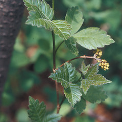 Leaves: Rhus aromatica. ~ By Lawrence Newcomb. ~ Copyright © 2019 New England Wild Flower Society. ~ Image Request, images[at]newenglandwild.org
