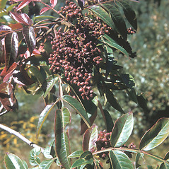 Fruits: Rhus copallinum. ~ By Frank Bramley. ~ Copyright © 2018 New England Wild Flower Society. ~ Image Request, images[at]newenglandwild.org