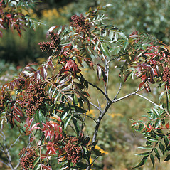 Plant form: Rhus copallinum. ~ By Frank Bramley. ~ Copyright © 2017 New England Wild Flower Society. ~ Image Request, images[at]newenglandwild.org