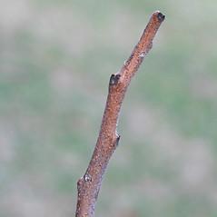 Winter buds: Rhus copallinum. ~ By Arieh Tal. ~ Copyright © 2019 Arieh Tal. ~ http://botphoto.com/ ~ Arieh Tal - botphoto.com