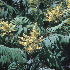 Flowers: Rhus glabra. ~ By Frank Bramley. ~ Copyright © 2019 New England Wild Flower Society. ~ Image Request, images[at]newenglandwild.org