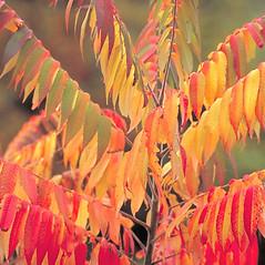 Leaves: Rhus hirta. ~ By Arieh Tal. ~ Copyright © 2019 Arieh Tal. ~ http://botphoto.com/ ~ Arieh Tal - botphoto.com