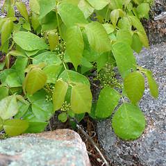 Plant form: Toxicodendron rydbergii. ~ By Jill Weber. ~ Copyright © 2018 Jill Weber. ~ jillweber03[at]gmail.com