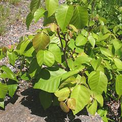 Plant form: Toxicodendron rydbergii. ~ By Marilee Lovit. ~ Copyright © 2019 Marilee Lovit. ~ lovitm[at]gmail.com
