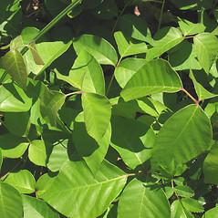 Leaves: Toxicodendron rydbergii. ~ By Marilee Lovit. ~ Copyright © 2018 Marilee Lovit. ~ lovitm[at]gmail.com
