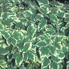 Leaves: Aegopodium podagraria. ~ By Albert Bussewitz. ~ Copyright © 2019 New England Wild Flower Society. ~ Image Request, images[at]newenglandwild.org