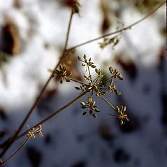 Plant form: Aethusa cynapium. ~ By Carol Levine. ~ Copyright © 2019 Carol Levine. ~ carolflora[at]optonline.net