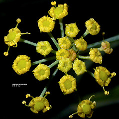 Flowers: Anethum graveolens. ~ By Gerry Carr. ~ Copyright © 2019 Gerry Carr. ~ gdcarr[at]comcast.net ~ Oregon Flora Image Project - www.botany.hawaii.edu/faculty/carr/ofp/ofp_index.htm