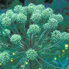 Flowers: Angelica atropurpurea. ~ By Frank Bramley. ~ Copyright © 2018 New England Wild Flower Society. ~ Image Request, images[at]newenglandwild.org